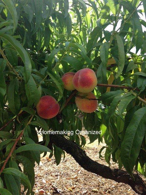 Peach-Picking