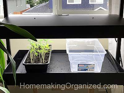 Pacific Northwest Gardening means starting seeds with a Grow light in an upstairs window.